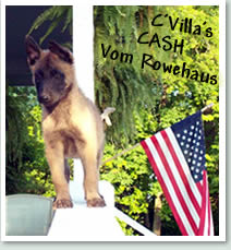 C'villa Cash Vom Rowehaus - Belgian Malinois search and rescue k9